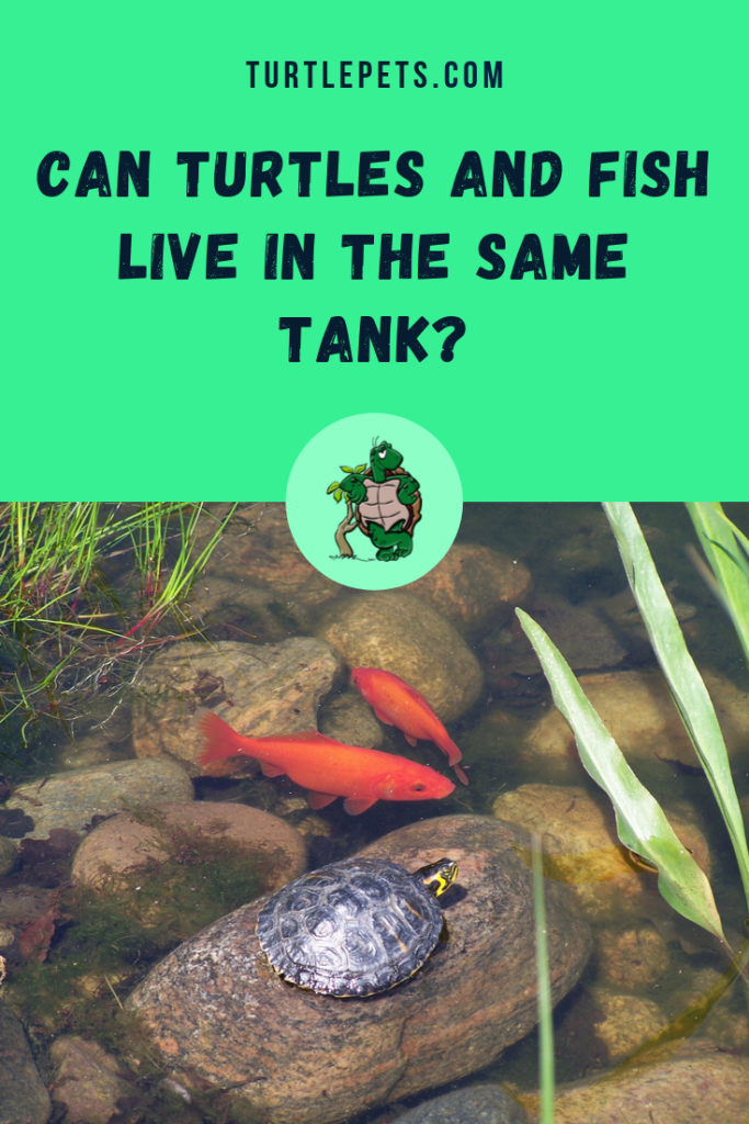 Can Turtles And Fish Live In The Same Tank pin