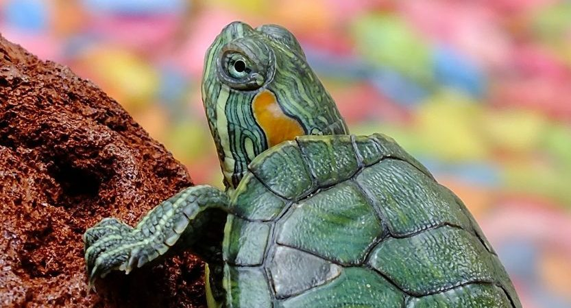You are currently viewing Can Turtles Be In Cold Water? Keeping A Turtle As A Pet? [Guide]