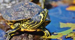 ? How Long Can Turtles Go Without Eating? </br>[Useful Tips]