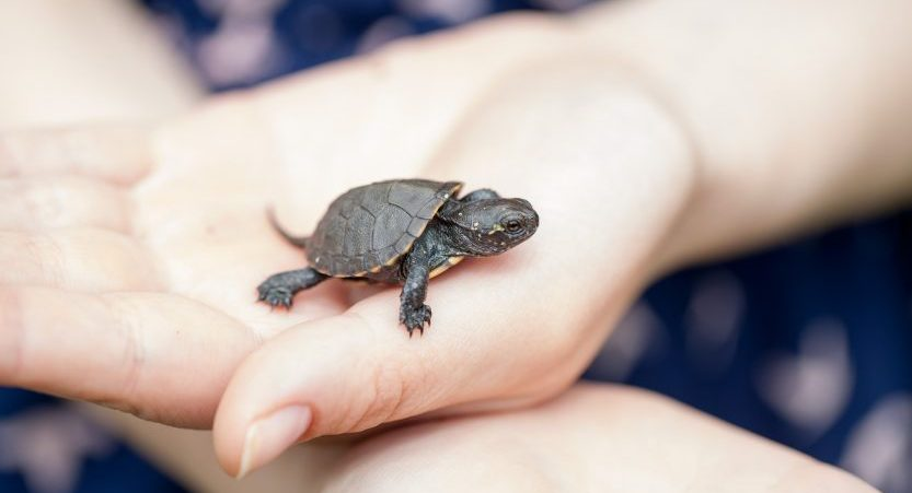 What Is The Best Small Turtle For A Pet?</b> [Tiny Turtle Pets]