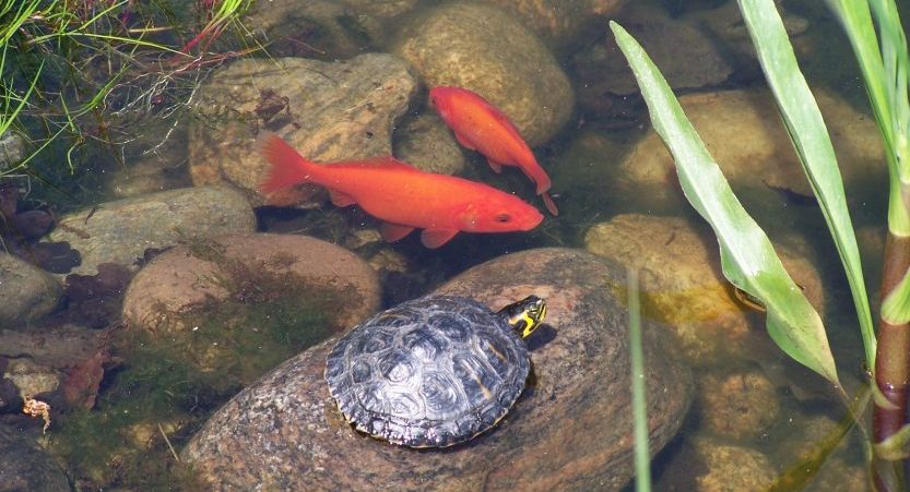 Can Turtles And Fish Live In The Same Tank? [Brief Guide]