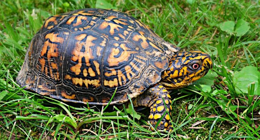 How Big Do Box Turtles Get? A Box Turtle as Pet