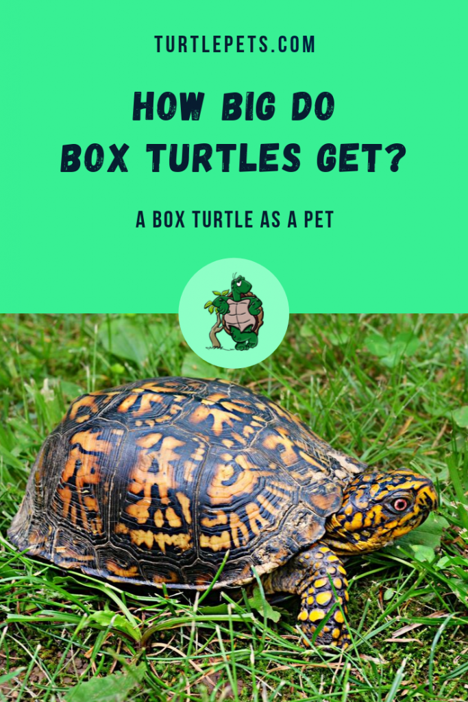 how big do box turtles get pin