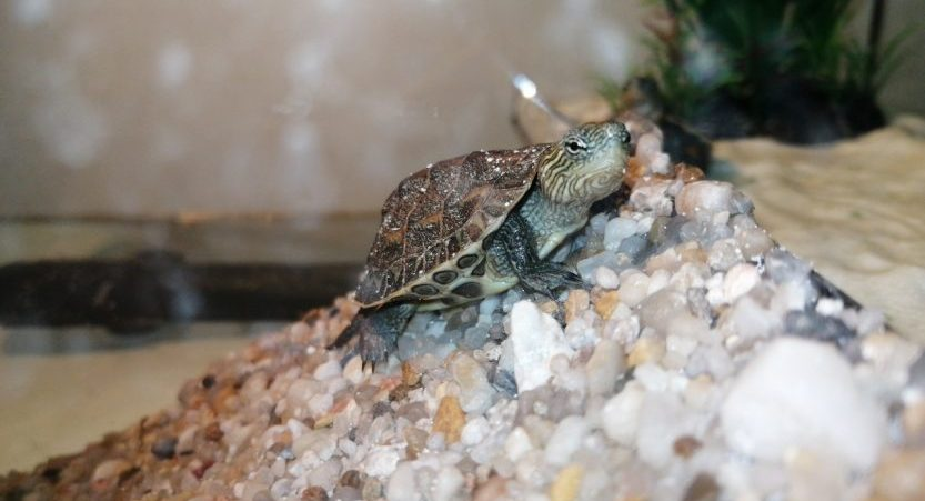 How To Take Care Of Yellow Belly Slider Turtle?