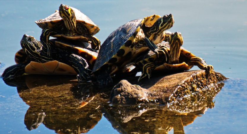 Why Do Turtles Stack? Why Turtles Pile Top Other? [Amazing]