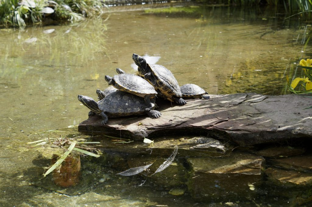why turtles pile top other