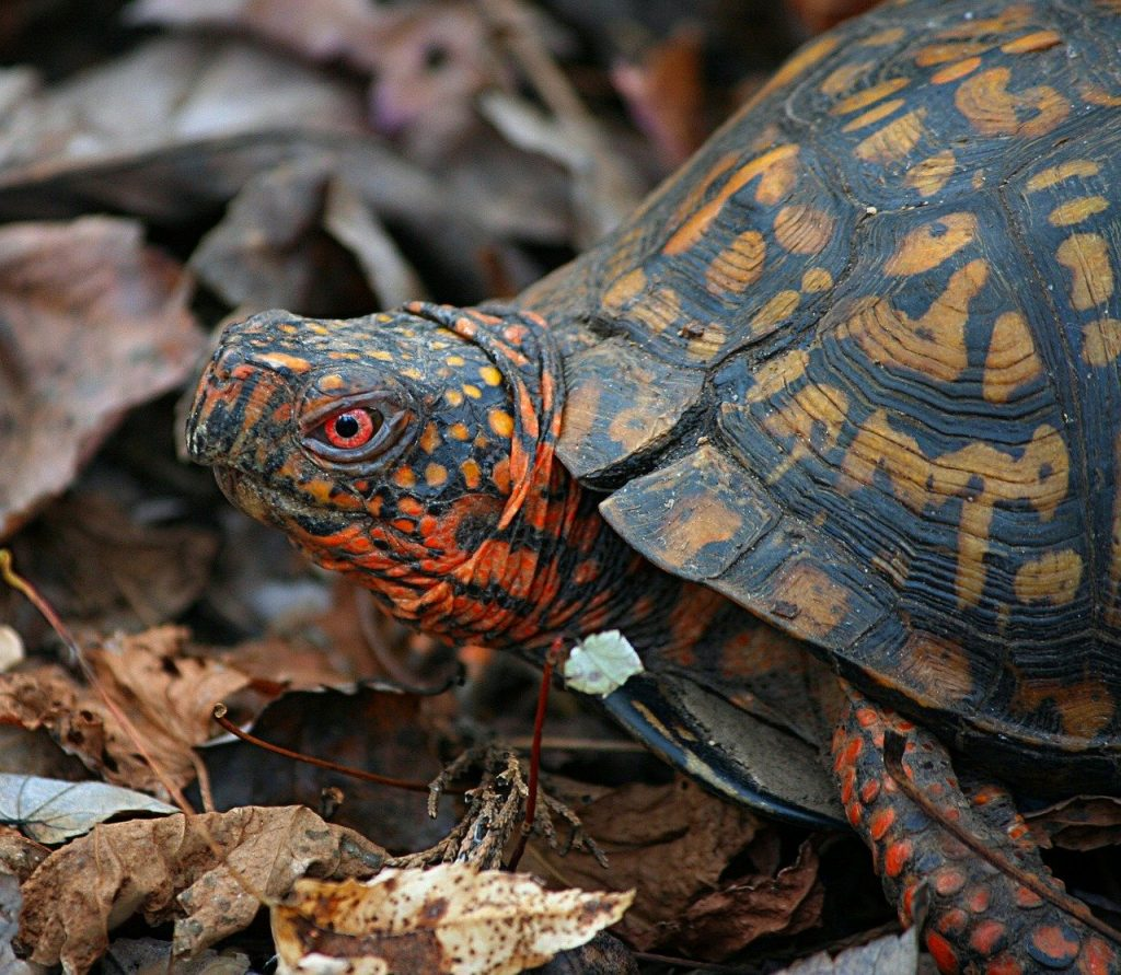Do Box Turtles Recognize Their Owners
