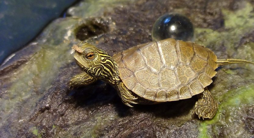 Do Turtles Change Colors? [Detailed Guide with Pictures]