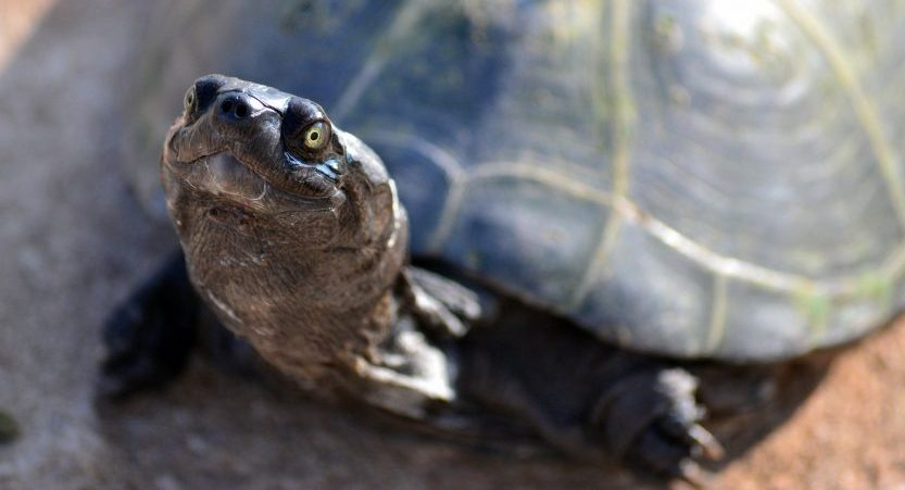 Do Turtles Recognize Their Owners? </br> [3 Stunning Facts]