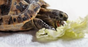 Can Turtles Eat Lettuce? Best Food Advice
