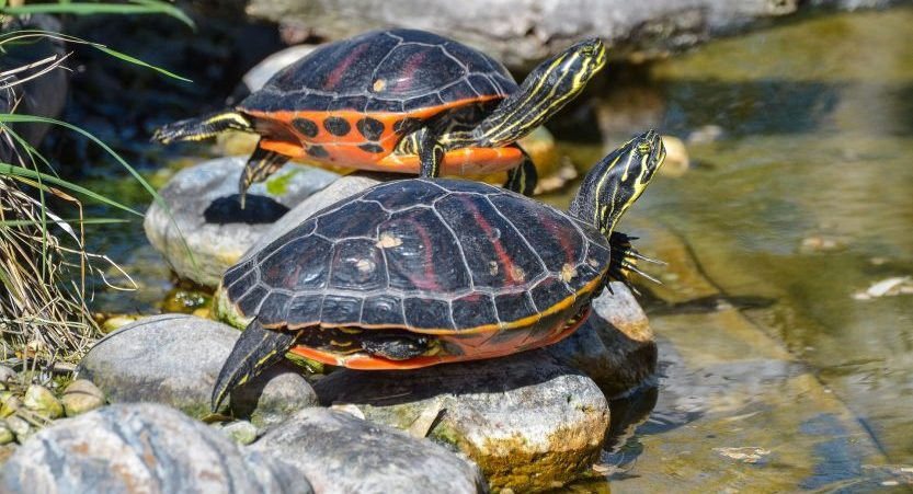 How Long Do Turtles Bask? 3 Great Basking Platforms