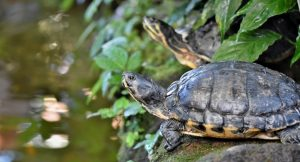 Are Turtles Nocturnal Or Diurnal? [With Pictures]