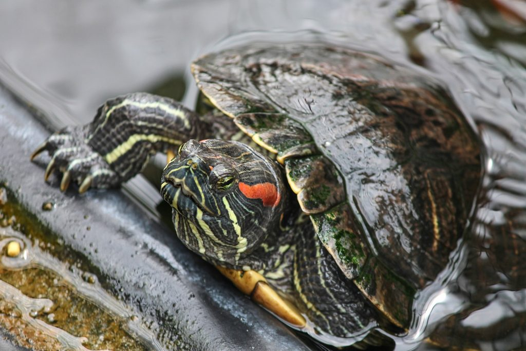 Can Red Eared Slider Hiss