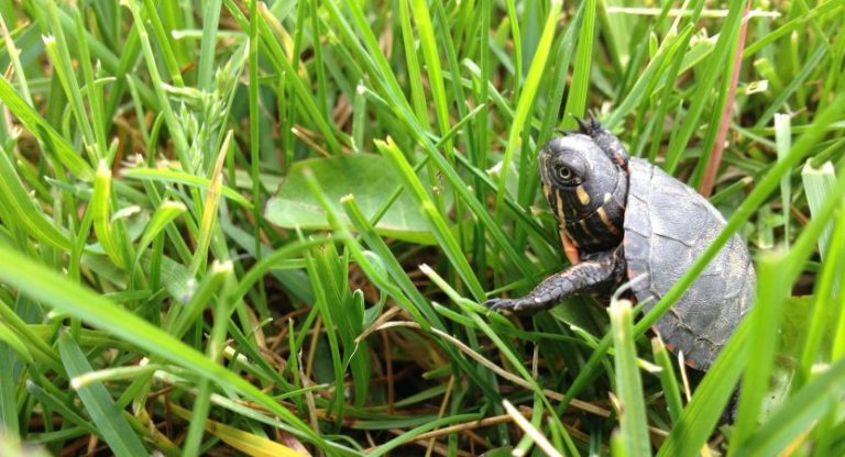 How To Take Care Of Baby Water Turtles [With Video Guide]