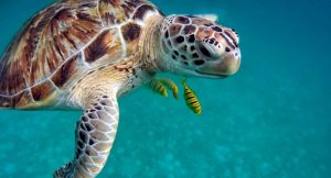 Turtle Adoption – How Do You Adopt a Sea Turtle?