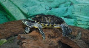 Turtle As A Pet! Do Turtles Make A Good Pet?