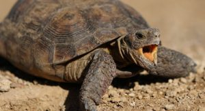 Why Do Turtles Hiss? [Amazing Facts!]