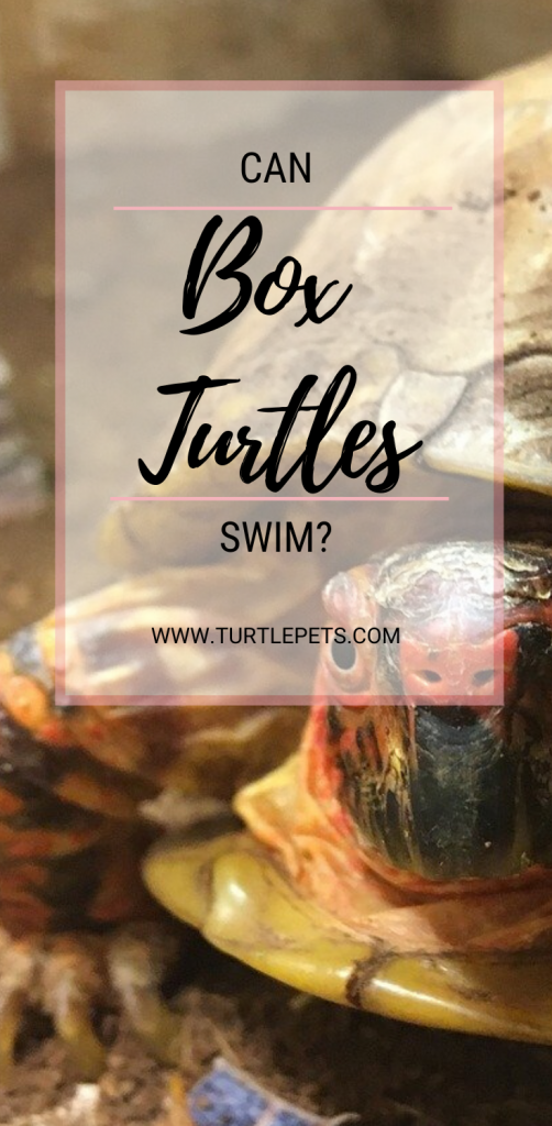 Can Box Turtles Swim pin