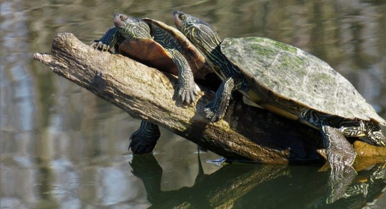 How Do Turtles Mate? How Do I Know That My Turtle Is Mating?