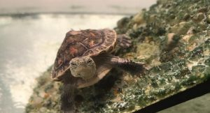 Why Does My Turtle Swim Frantically? [with Video]
