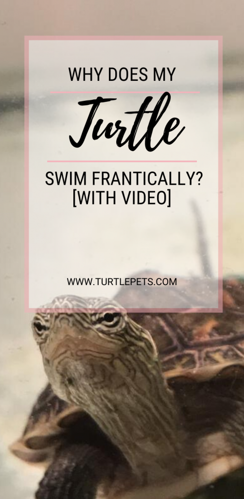 Why Does My Turtle Swim Frantically pin