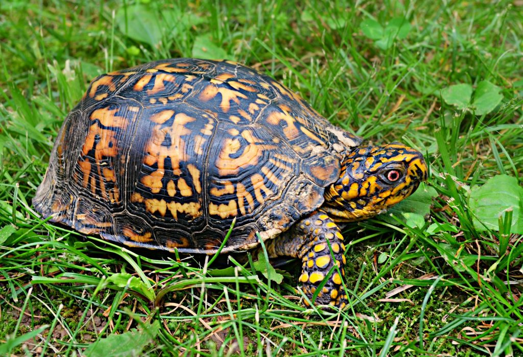 Will A Box Turtle Bite