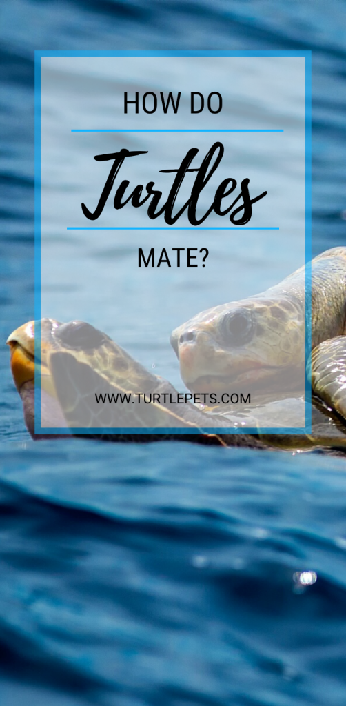 how do turtles mate pin