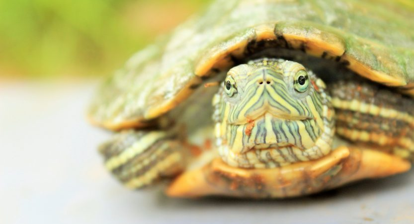 Why Are Turtles So Slow? What is a turtle's top speed?