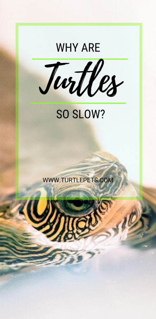 Why Are Turtles So Slow pin