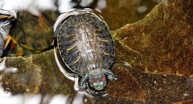 Red Eared Slider vs Painted Turtle [The Major Differences]