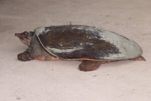 Smooth Softshell Turtle Incredible Facts You Need To Know