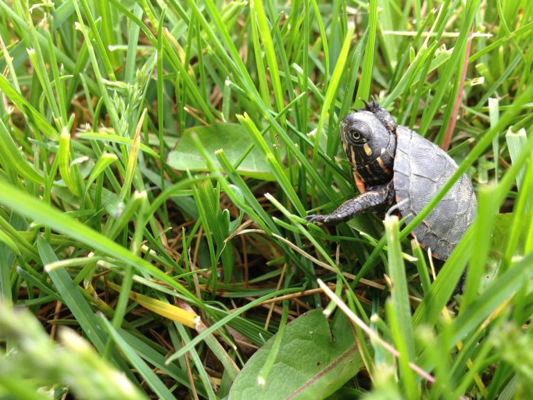 Can Turtles Eat Grass?[Answered]