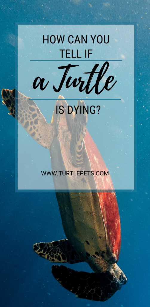 How Can You Tell If A Turtle Is Dying pin